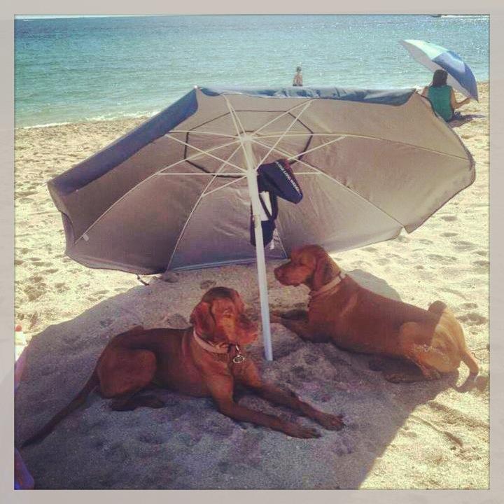 vizslák napernyővel